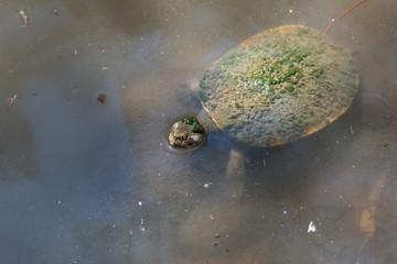 Wasserschildkröte mit Algenbewuchs