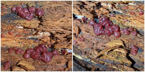 Ascocoryne cylichnium fungus