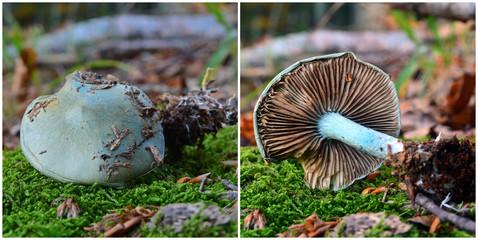 Clitocybe odora mushroom