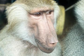 Close-up portrait of baboon monkey looking sideways