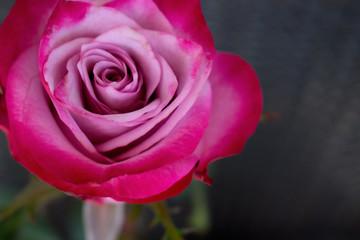 Rose. Decorative pink rose. Elegant romantic flower.
