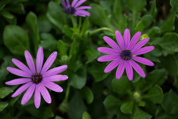Beautiful purple dimorphotheca in a garden. Closeup of blossom of African daisy.
