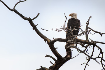Bald Eagle (Haliaeetus leucocephalus) Perched in a Dead Tree