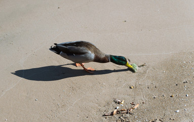 Small duck on a lake beach sand
