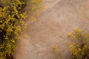 Rabbitbrush flowers surround a slab of sandstone.