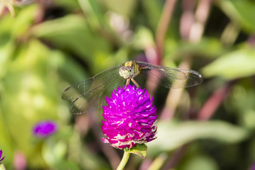 long-legged marsh glider or dancing dropwing (Trithemis pallidinervis) dragonfly