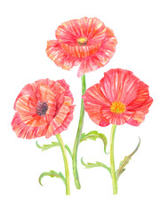 three red poppies for your design. watercolor painting