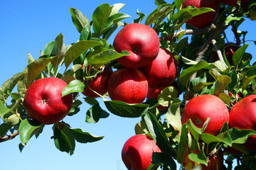Fresh red apples on the tree in harvest season