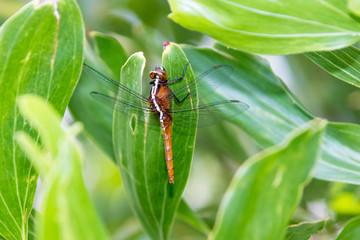 Hydrobasileus croceus Brauer, Amber-Winged Marsh dragonfly