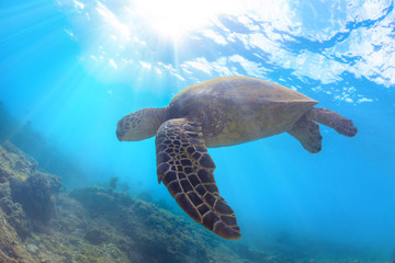 A sea turtle floating against water surface with sunbeams underwater on blue aquatic background