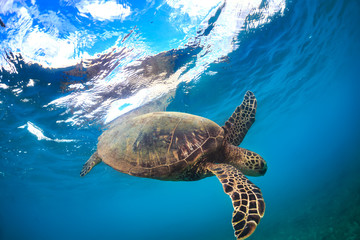 Turtle underwater near water surface