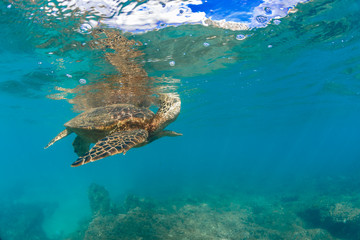 A turtle taking breath near water surface shallow underwater against blue sea background