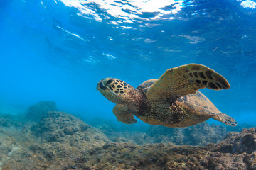Sea turtle underwater against blue water background