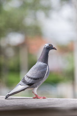 full body of homing pigeon bird standing on home loft