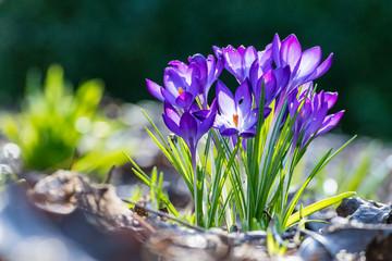 Photo sur Plexiglas Crocus bunch of purple Crocus with blur background