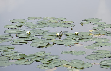 water lily on pond