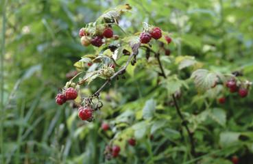 Raspberry plant raspberry bush