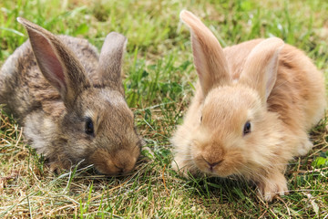 two young grey and red rabbits sitting on green grass, close up.