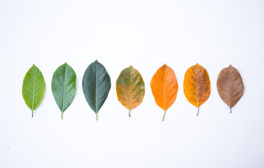 Wall Mural - Closeup eaves in different color and age of the jackfruit tree leaves. Line of colorful leaves in autumn season. For environment changed concept. Top view or flat lay background and banner.