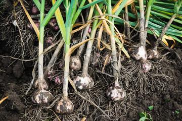 Harvesting garlic in the garden Wall mural