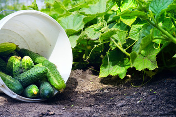 A lot of fresh beautiful young cucumbers in a white plastic bucket on the ground against a background of juicy green leaves. harvesting of cucumbers in a greenhouse.
