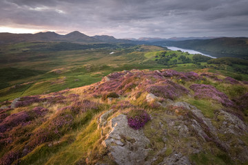 Warm sunlight illuminated the blossoming heather of the lake district landscape with mountain background