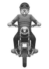 Koala  rides motorcycle, hand-drawn illustration