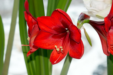 Red amaryllis blooming on window sill indoors
