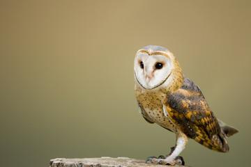 Barn Owl perched on Tree Stump Fototapete