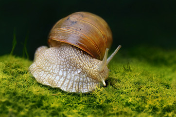 Burgundy snail (Helix pomatia) on forest floor with moss  