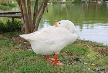 A white duck stand sleeping near pond