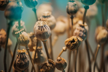 dried opium poppy head, Plants for medicine or drugs