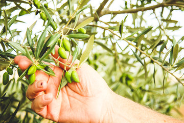 Olive tree check