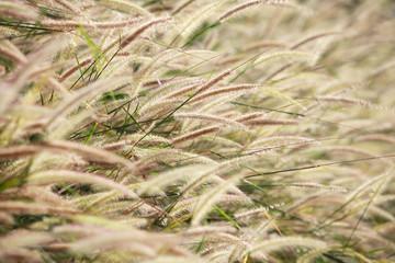 Wall Mural - texture of reeds grass background.