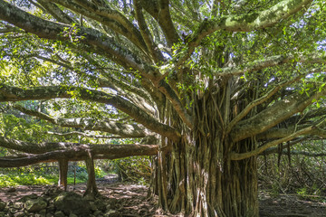 Huge tree in the jungle of Maui island, Hawaii