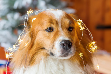 cute elo dog in front of christmas decoration