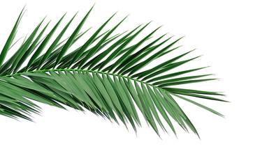 Green leaf of a palm tree. Isolate on white background.
