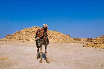 Egypt camel wearing colorful saddle