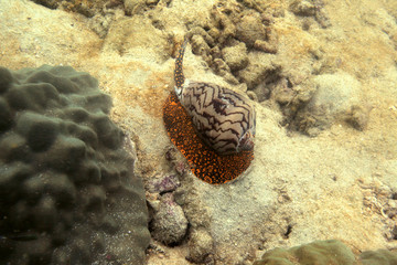 underwater world - cone snail