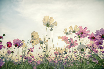 Cosmos flower in the field with vintage blue sky background
