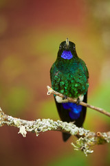 Very colorful hummingbird Eriocnemis vestitus, Glowing Puffleg showing its bright blue throat and sparkling green chest. Vertical photo, abstract red and green background. Colombia, Rio Blanco.