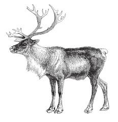 Reindeer (Rangifer tarandus) / vintage illustration
