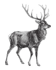 Red deer (Cervus Elaphus) / vintage illustration