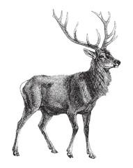 Red deer (Cervus Elaphus) / vintage illustration