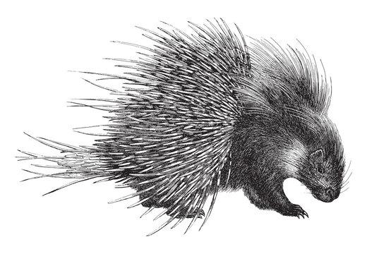 Crested Porcupine (Hystrix cristata) / vintage illustration