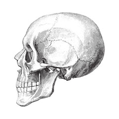 Human skull / vintage illustration