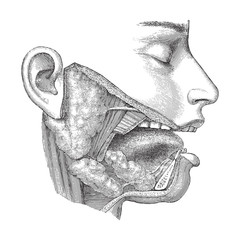 Human head anatomy - nose, mouth and throat / vintage illustration