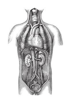 Human body anatomy with organs / vintage illustration