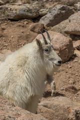 zMountain goat in the Colorado high Country
