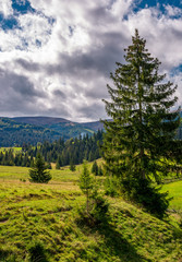 spruce tree on a grassy slope under cloudy sky. beautiful early autumn scenery in Carpathian mountains